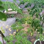 一気に涼しくなってきて…我が家のマルンガイの葉枯れの原因は?