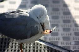 Lure-tangled seagull
