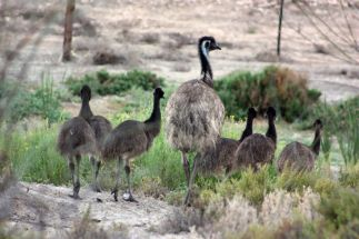 Emus out on the town