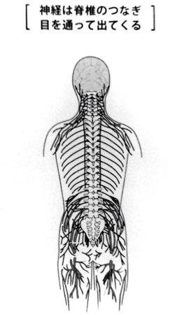 脊椎を通る神経
