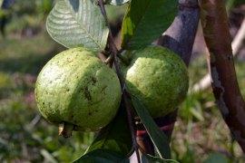 ฝรั่ง | We grow two varieties of guava: pink and white. These two aren't quite ready to be picked yet, they're quite astringent when green.