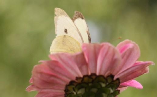 Das Glück ist ein Schmetterling