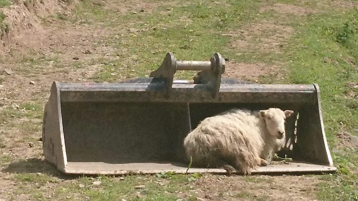Sheep adopt the digger buckets for shelter