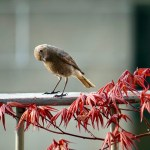 Black redstart and young red maple leaves