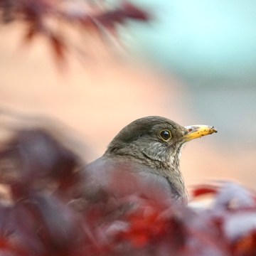 Female blackbird and red maple leaves