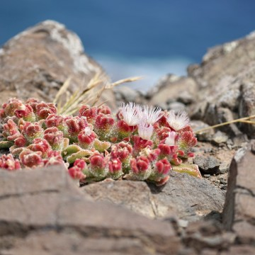 Close-up shot of red green succulent plants blooming on a rock