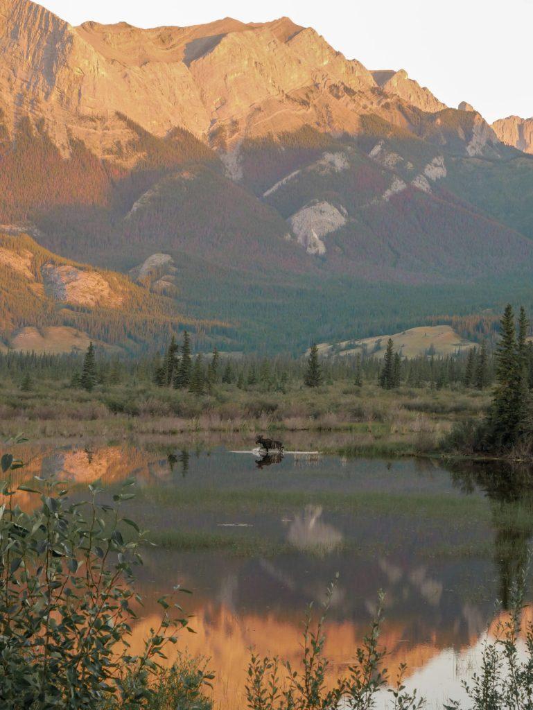 Orignal Jasper National Park - Road trip deux semaines Rocheuses