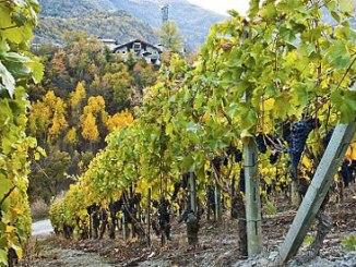 Valle d'Aosta: Il grande vino di una piccola Regione [Abbecedario del gusto] CorriereAl 2