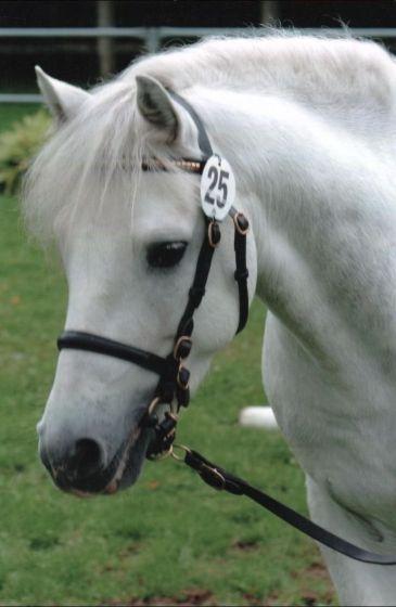 Le poney Connemara  Magazine Cheval  MonChval Mag  Bien plus quun magazine sur le cheval et