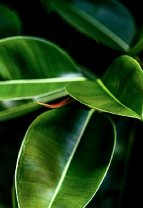 Ficus Arrosage Rempotage Gamm Vert
