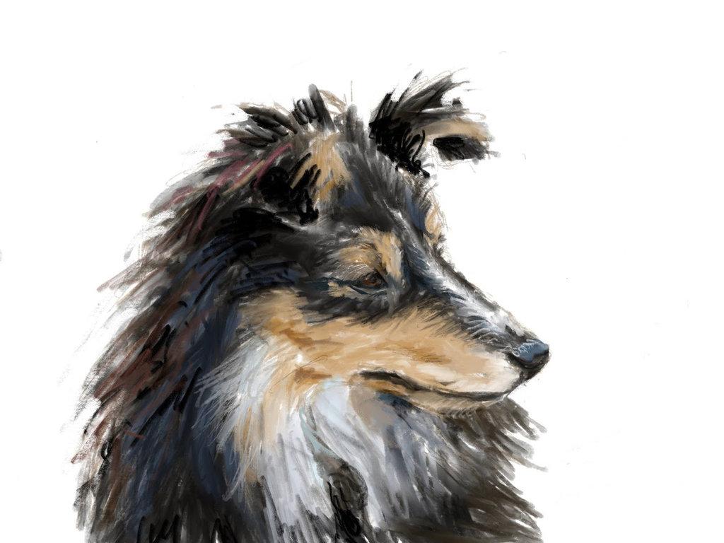 Shetland Sheepdog_
