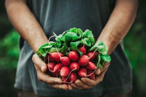Organic vegetables. Farmers hands with freshly harvested vegetables. Horse radish
