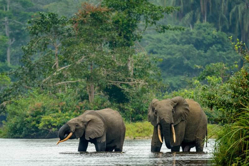 congo-basin-elephants