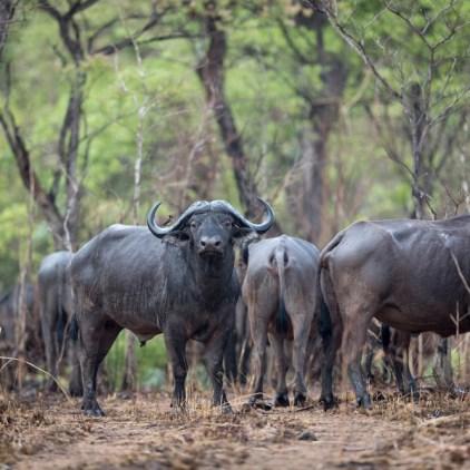 Cape buffalo are a common sight in Niassa © Will Burrard-Lucas