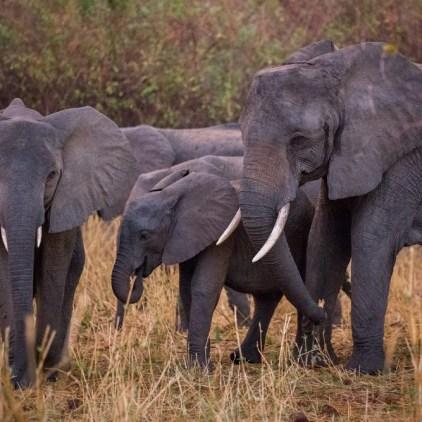 An elephant breeding herd © Will Burrard-Lucas