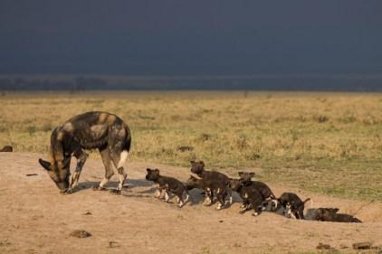 Wild dog mum and her pups © Ol Pejeta Safari Cottages