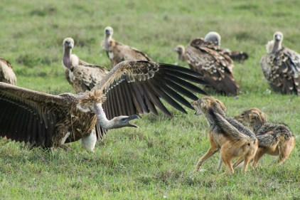 A jackal versus vulture standoff © Ol Pejeta Safari Cottages