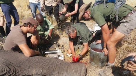 Operation to heal Benny's foot injury. Water for Elephants Trust, Botswana