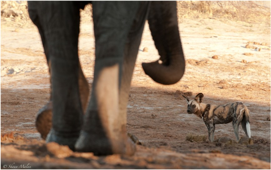 Wild dogs compete with elephants for scarce water resources. Water for Elephants Trust, Botswana
