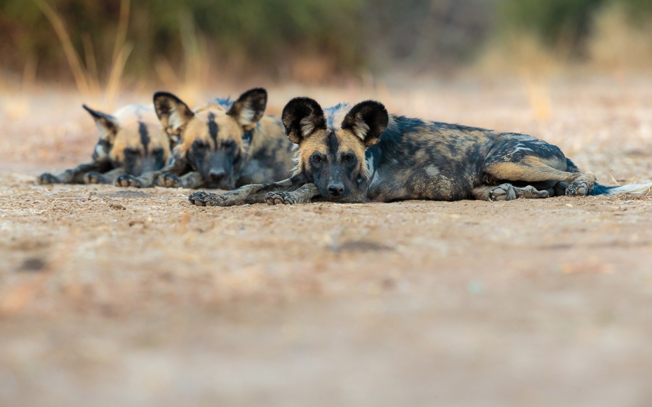 Three adorable wild dogs resting