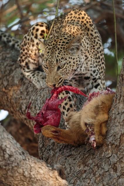 Leopard feasting on its prey