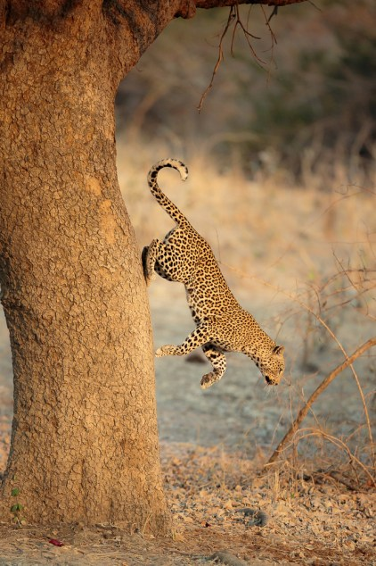 Leopard jumping down from a tree to catch its prey