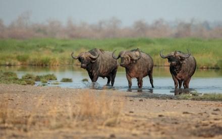 Three buffalo in South Luangwa