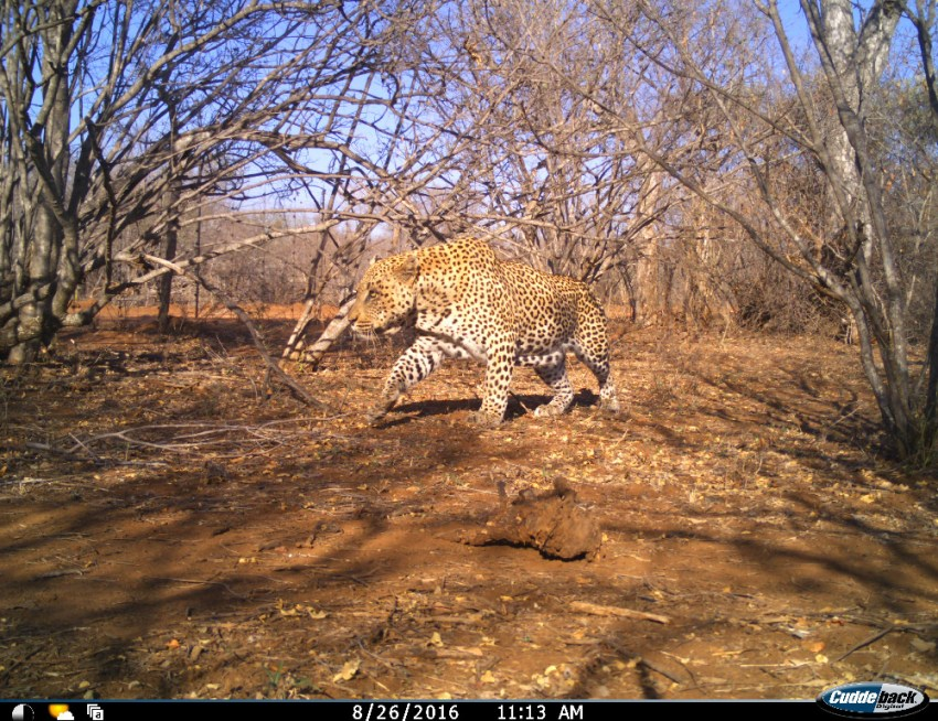 Houdini is a massive male leopard, and current the dominant male frequenting the estate
