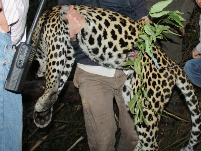 A leopard caught around the abdomen by an illegal wire snare in the Boland.