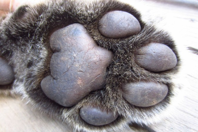 Front paw of a female leopard.