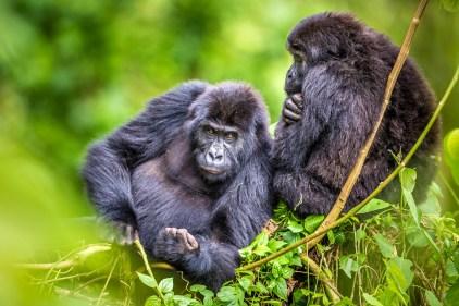 Grauer's gorillas in Virunga National Park