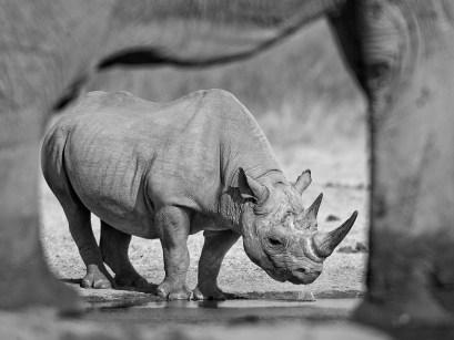 Drinking-Black-Rhino-photographed-through-elephant-legs,-Etosha,-Namibia