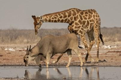 Johan-J-Botha-Drinking-Eland-and-giraffe--Etosha,-Namibia