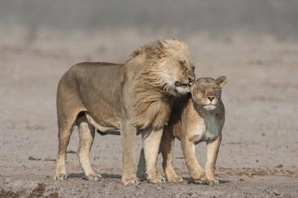 Johan-J-Botha-Whispering-lion-couple-in-strong-wind