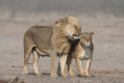 Johan-J-Botha-Whispering-lion-couple-in-strong-wind