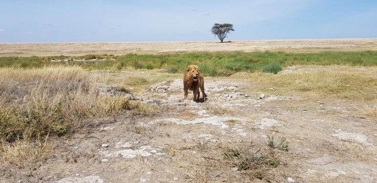 Lone lion in the Serengeti