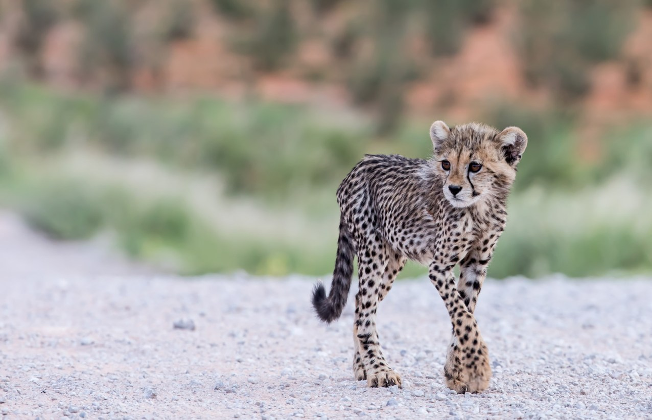 Young cheetah