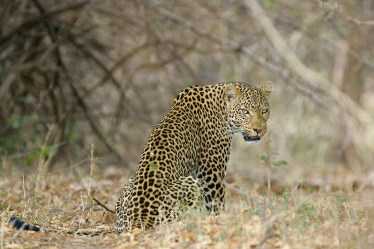 A leopard in Kafue National Park, Zambia