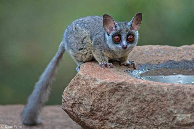 south african galago