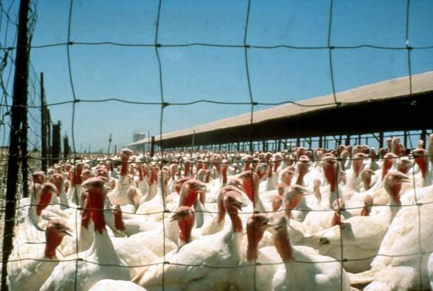 Ferenc Schmidt's turkey farm. Photo: Courtesy of Chris Ronay