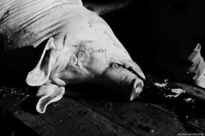 La macellazione domestica dei maiali