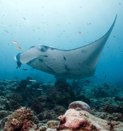 a manta ray in a cleaning station photo credit j rgen gangoly [ 7360 x 4912 Pixel ]
