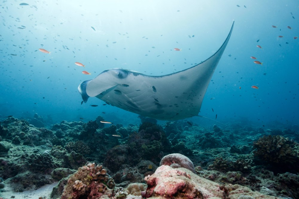 medium resolution of a manta ray in a cleaning station photo credit j rgen gangoly