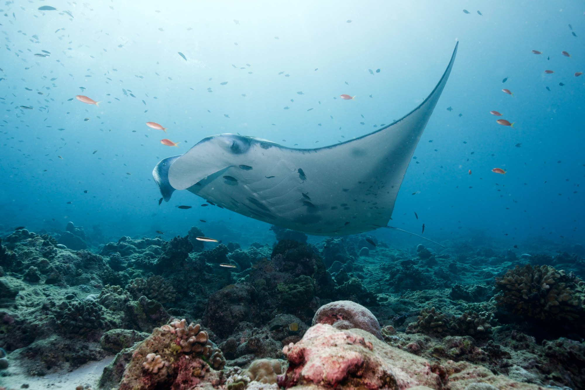 hight resolution of a manta ray in a cleaning station photo credit j rgen gangoly