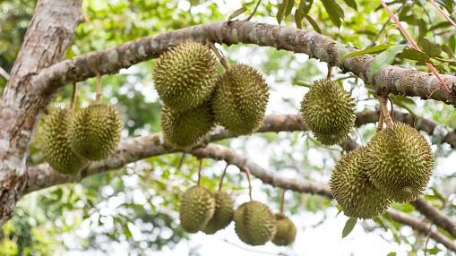 Durian shape