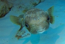 Spotted Burrfish