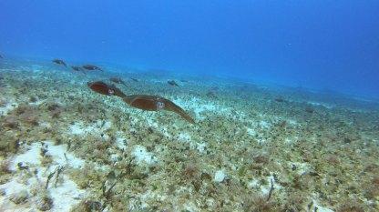 School of Caribbean Reef Squid