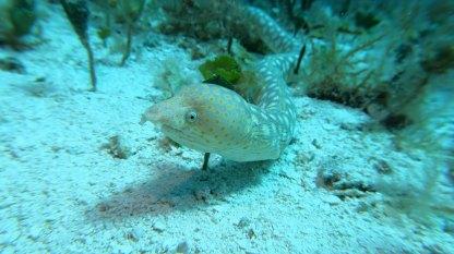 Sharptail Eel