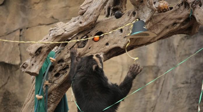 Luis, il nostro orso andino alle prese con gli arricchimenti di Carnevale