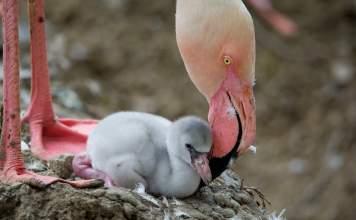 """Fenicotteri rosa, ecco come """"essere un ottimo padre"""""""